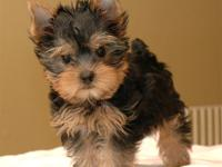 Male and female tiny Yorkie Puppies ready for good