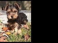 Beautiful pure Yorkie puppies for sale. Dewormed and