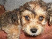 I am selling 4 yorkie puppies...I have 3 males left and