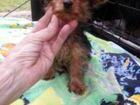 I have four, 10 week old yorkie puppies ready to go to