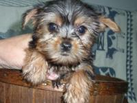 Adorable,., Yorkie Puppies  . Ready    .,nCute and Tiny