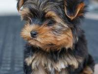 We have one baby male yorkie puppy. He would be a great