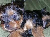 YORKIE BABY Full Breed Yorkshire Terrier Male Puppy He