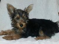Adorable purebred Yorkie puppy. Beautiful black and tan