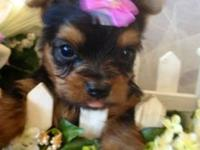 Adorable, healthy Yorkie Puppy Boy. DOB: 8-8-13. Up to
