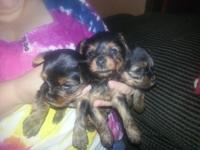 I have 3 Yorkie children up for sale, 2 Females 1 Male.