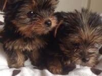 Adorable yorkie are to be adopted to a loving