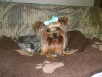Meet Pippy! He is a 1 year old beautiful 6lb Yorkie.