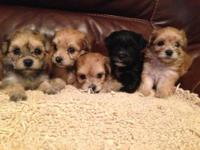 Adorable Yorkiepoos ready to find their forever homes.