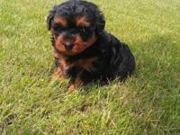 Four male yorkiepoo puppies available in early December