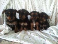 I have 4 gorgeous miniature Yorkie-poo puppies; 1 girl