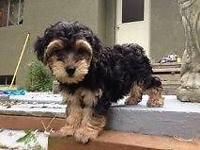 Adorable Yorkiepoos for sale (all lady). Mommy is a