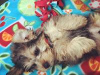Bought this extremely cute male yorkiepoo pup for my