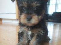 I HAVE 4 MALE YORKIES FOR SALE. 1 FEMALE 3 MALES.THEY