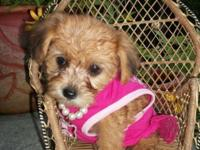 Sweet & & Tiny! Yorkipoo young puppies (Yorkshire