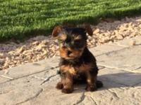 Simply Adorable Yorkie puppies. I have 2 males ready