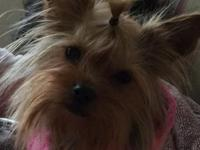 Adorable small female Yorkie, 3 1/2 - 4 lbs, and about