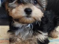 1 beautiful Yorkshire Terrier/Maltese Mix male puppy is