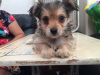 One adorable female Yorkshire Terrier mix puppy is