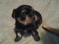 Really charming yorkie young puppy. male likes a great