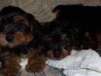 Adorable Male/Female Yorkshire Terrier puppies are