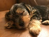 I have three yorkie pups. 2 Females 550.00 and 1 Male