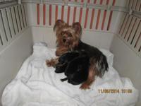 Xmas puppies , ready Dec 14 , 2 males/2 females CKC ,