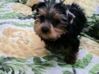 We have an adorable litter of Yorkie Puppies. They come