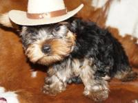 Adorable Yorkshire Terrier Puppies Available We have