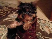 AKC/CKC Yorkshire Terrier puppies for sale Our top