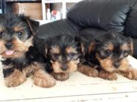 3 beautiful Yorkshire Terrier puppies are looking for