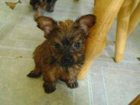 I have a yorkie female puppy that has had tail and