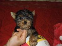 We have a sweet Yorkie Male puppy. Was born May