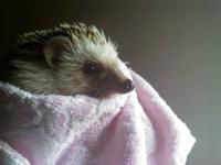 Adorable 1 1/2 year old male Hedgehog for sale. Comes