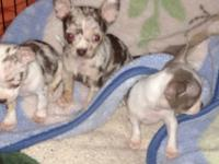 2 male chihuahua puppies, chocolate merles 1 female