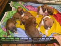 Now taking DEPOSITS on this beautiful litter of AKC