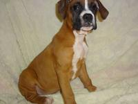 Dixie is a beautiful AKC registered female Boxer puppy