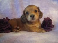 We have 6 extremely lovable longhair baby dachshund