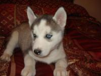 Adorable AKC Registered Siberian Husky Puppies 4 Males