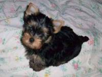Beautiful AKC registered Yorkshire Terrier pups. Males