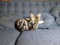 I have a male American Shorthair kitten for sale,
