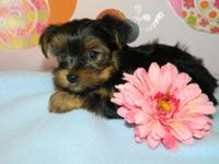 ADORABLE and LOVABLE Male And Female Yorkie puppies!!!