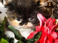 I have 3 Persian Kittens, 2 female and 1 male. The