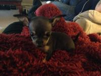 Adorable Chihuahua Puppies for sale, Born March 24th
