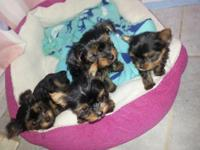 Adorable Cute TeaCup Yorkie Puppies for sale..All Males