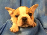 Cute faux frenchies ready March 13th. French Bulldog