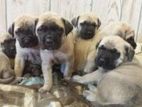 Adorable female fawn English mastiff puppy. Full