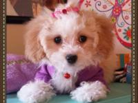 MALTIPOO. Charming and cuddly, the Maltipoo is an