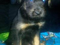 We have female and male Giant Schnauzer German Shepherd