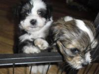 -We have 2 gorgeous Havanese puppies still available